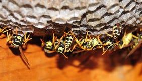 Ninho de vespas de papel europeias foto de stock royalty free