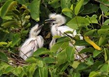 Ninho do Egret Imagens de Stock Royalty Free