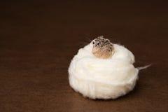 Ninho do hamster Imagens de Stock Royalty Free