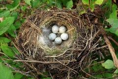 Ninho do pássaro com ovos imagem de stock