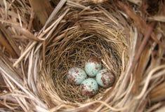 Ninho do pássaro do pisco de peito vermelho com ovos Foto de Stock Royalty Free