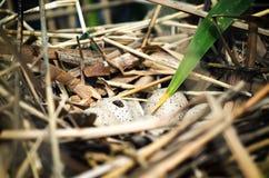 Ninho do pássaro feito na água entre juncos com os ovos quase de choque Fotos de Stock