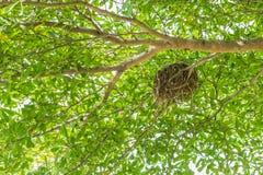 Ninho do pássaro na árvore da cabaça, cabaceiro mexicano Imagens de Stock