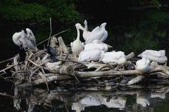 Ninho do pelicano no lago Imagens de Stock Royalty Free