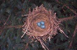 Ninho do pisco de peito vermelho com ovos Foto de Stock Royalty Free