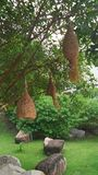 Ninho do pássaro do tecelão na árvore Imagem de Stock