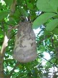 Ninho do ` s da vespa em uma planta da tanjerina imagens de stock