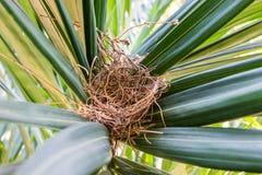 Ninho do ` s do pássaro do striata de Geopelia em um verde da árvore no meio de Foto de Stock