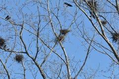 Ninho e corvos no ramo da parte superior da árvore foto de stock