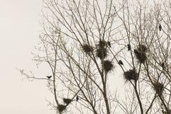 Ninho e corvos no ramo da parte superior da árvore fotografia de stock