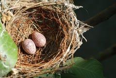 Ninho e ovos 1 Fotos de Stock