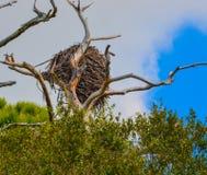 Ninho na reserva aquática da baía do limão em Cedar Point Environmental Park, Sarasota County das águias americanas, Florida foto de stock