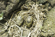 ninho Preto-voado do pernas de pau com ovos/himantopus do Himantopus Foto de Stock Royalty Free