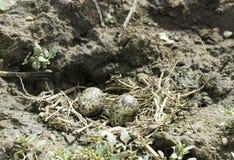 ninho Preto-voado do pernas de pau com ovos/himantopus do Himantopus Fotografia de Stock