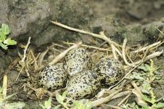 ninho Preto-voado do pernas de pau com ovos/himantopus do Himantopus Imagens de Stock Royalty Free