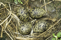 ninho Preto-voado do pernas de pau com ovos/himantopus do Himantopus Imagem de Stock