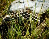 Ninho selvagem da vespa Foto de Stock