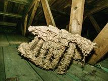 Ninho velho usado do polist das vespas da família das vespas imagem de stock royalty free