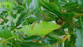 Ninho vermelho da formiga na árvore filme