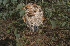 Ninhos da vespa de pertença da folha Floresta de Autumnn imagem de stock royalty free
