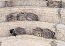 Ninhos das andorinhas Fotografia de Stock