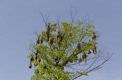 Ninhos do pássaro Fotografia de Stock