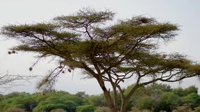 Ninhos dos pássaros nas extremidades de ramos de árvore da acácia para a proteção dos predadores vídeos de arquivo