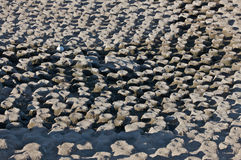 Ninhos vazios do Cormorant Foto de Stock Royalty Free