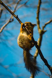 Ninja karate squirrel Stock Photography