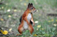 Ninja Squirrel Stockfoto