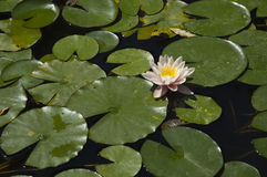 Ninphea del agua Imagen de archivo libre de regalías