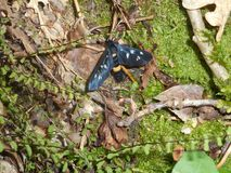 Nio-prickig malfjäril i skogsvartgulingen fotografering för bildbyråer
