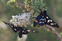 Nio-prickig nectaring för malar (den Amata phegeaen) Arkivfoto