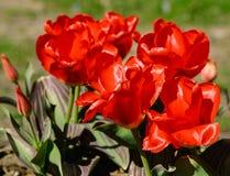 Nio röda tulpan växer i botanisk trädgård på jord Arkivfoto