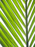 Nipa palm foliage Stock Image