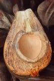 Nipa palm Royalty Free Stock Photos