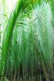 Nipah palm tree or leaf. Nipah palm forest, tropical tree or leaf Stock Photo