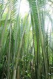 Nipah palm tree or leaf. Nipah palm forest, tropical tree or leaf Stock Photography