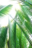 Nipah Palm Tree Or Leaf Stock Images