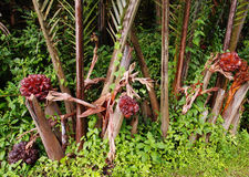 Nipah palms and fruit in the wilds Stock Images