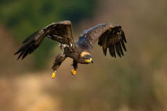 干草原老鹰,天鹰座nipalensis,鸟移动的行动场面,飞行的黑暗的肌力鸷与大翼展,挪威的 库存照片