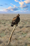 Nipalensis d'Eagle Aquila de steppe se reposant sur un ferula Photos stock