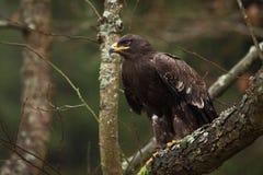 Nipalensis de Aquila É expandido em Rússia, em África, em Ásia central, em Arábia, Índia, em Mongólia e em China foto de stock royalty free