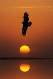 Nipalensis de Eagle Aquila de la estepa en la puesta del sol Foto de archivo libre de regalías