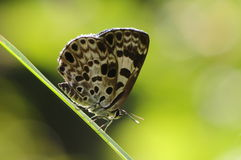 Niphanda fusca/ butterfly on twig Stock Photos