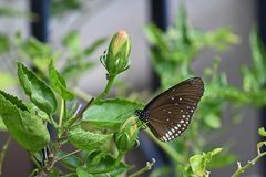 Nippender Nektar des Schmetterlinges von einer kleinen Blumenknospe lizenzfreie stockfotografie