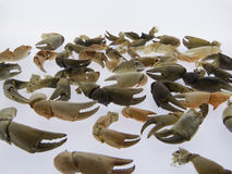 Nippers of crabs, seafood, isolated stock image