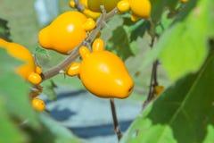 Nipplefluit ( solanum lndo). Solanum mammosum growing in the garden ( solanum lndo Royalty Free Stock Photos