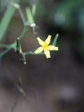 Nipplewort commun (Lapsana communis) Photos libres de droits