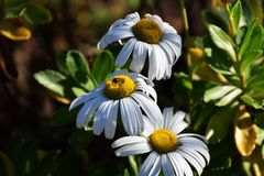 Nippon daisy. Is native to Japan, and mainly in the coastal area, a clean white flower blooms in autumn Stock Image